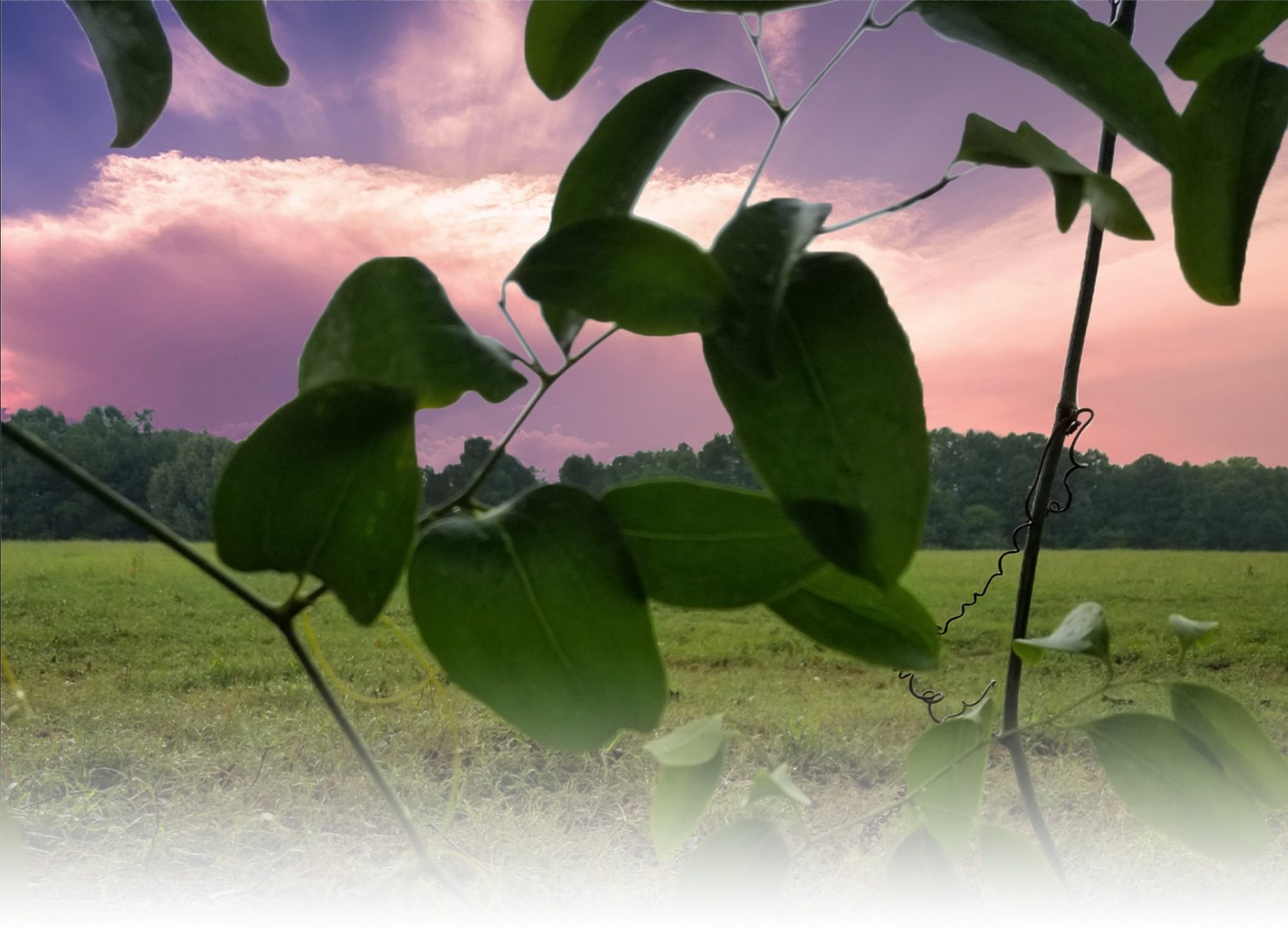 Whites Foliage: Your Smilax Headquarters